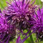 Lilafarbene Blume